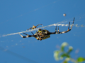 Argiope-appensa-mating-pair.png