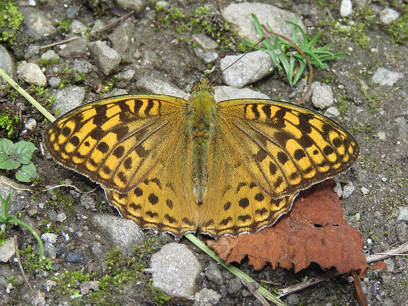 Bộ sưu tập cánh vẩy 5 - Page 3 800px-Argynnis_kamala_-_Common_Silverstripe_from_Valley_of_Flowers_National_Park_-_during_LGFC_-_VOF_2019_%2847%29