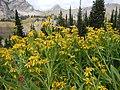 Arnica longifolia (29135000731).jpg