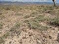 Artemisia pedatifida — Matt Lavin 001.jpg