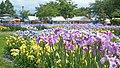 Asamai Park Ayame Matsuri 20190630c.jpg