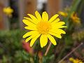Asteraceae I.jpg