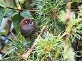 Asthenes palpebralis - Eye-ringed Thistletail (cropped).jpg