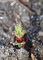 Astragalus cicer kz07.jpg