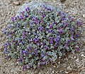 Astragalus purshii cushion-plant.jpg
