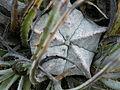 Astrophytum myriostigma (5725295773).jpg
