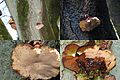 At the preceding overview image with the large Beech tree there grows some nice Ischnoderma resinosum (GB= Late fall polypore or Resinous polypore, D= Laubholz harzporling, F= Polypore radié ou Polypore resineux, NL= n - panoramio.jpg