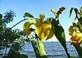 Atlas roslin pl Kosaciec żółty 8918 7204.jpg