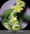 Atriplex oblongifolia sl37.jpg