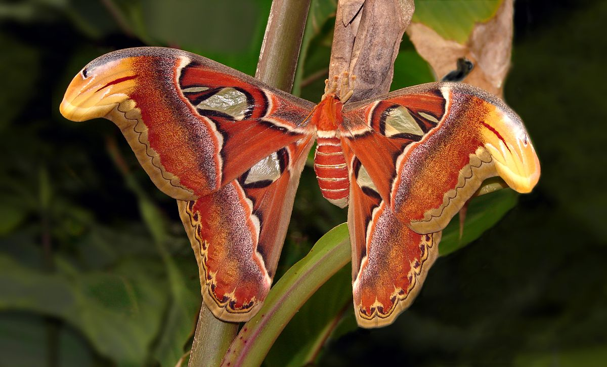 Attacus atlas - Wikipedia, la enciclopedia libre