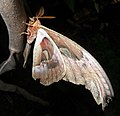 Attacus atlas side view thailand.jpg