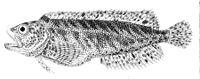 Auchenionchus variolosus.jpg