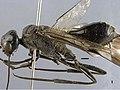 Aulacus-magnus-sp.jpg