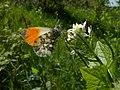 Aurorafalter (Anthocharis cardamines), Rocherath, Ostbelgien (3939224860).jpg