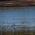 Australian pelican Burke River Boulia Queensland P1030508.jpg
