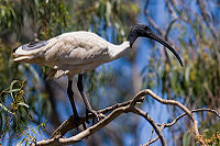 Australian white ibis in tree