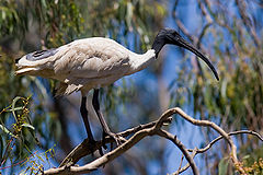 Australian white ibis in tree.jpg