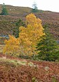 Autumn colour on the Braes of Tulliemet - geograph.org.uk - 1003756.jpg