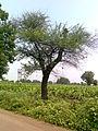 Babhul tree 03.jpg