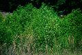 Baccharis halimifolia 1391174.jpg