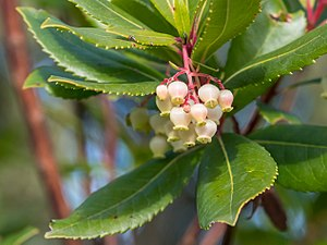 Arbutus unedo - Flowers