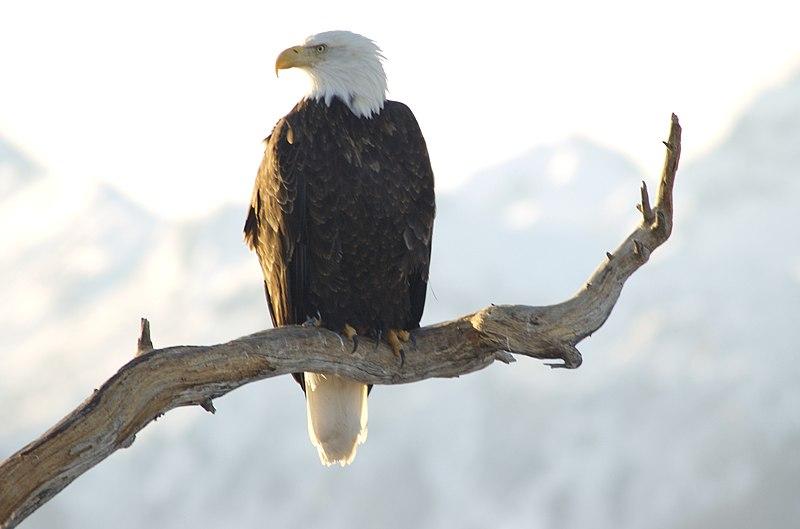 File:Bald Eagle Alaska (16).jpg