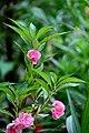 Balsam flowers 08.jpg