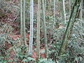 Bamboo in Tan Mountain Park.JPG