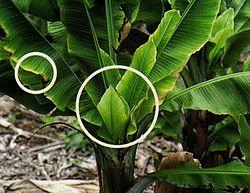 List Of Banana And Plantain Diseases Wikipedia