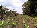 Banana plantation 2.jpg