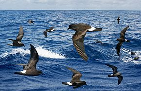 Band-rumped Petrel From The Crossley ID Guide Eastern Birds.jpg
