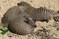 Banded mongoose arp.jpg