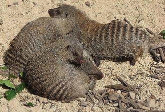 Banded mongoose - Banded mongoose Mungos mungo