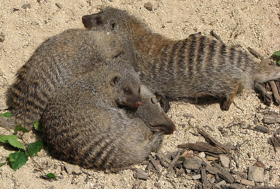 Banded mongoose arp