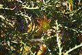 Banksia horrida gnangarra 01.JPG