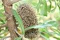 Banksia serrata 1zz.jpg