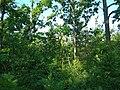 Baranivskyi Forest3.jpg
