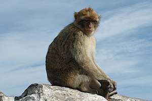 Mammalia in the 10th edition of Systema Naturae - The Barbary macaque was named Simia sylvanus in 1758.