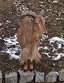 Barbary Sheep at Warsaw Zoo.jpg