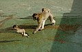 Barbary macaques at Prince Ferdinand's Battery, Gibraltar 37.JPG