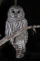 Barred Owl (6119715092).jpg
