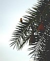 Baya weaver (Ploceus philippinus) on Phoenix sylvestris from Andhra Phoenix sylvestris from Andhra JEG8937.JPG