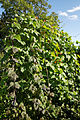 Bean cultivation Capel Manor College Gardens Enfield London England.jpg