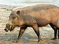 Bearded Pig (Sus barbatus) female (8221131266).jpg