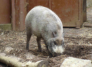 Suidae - Bearded pig, (Sus barbatus)