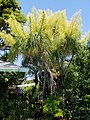 Beaucarbea-Recurvata-5-29-2021Wilton-Manors-FL.jpg