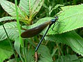 Beautiful Demoiselle - geograph.org.uk - 887805.jpg