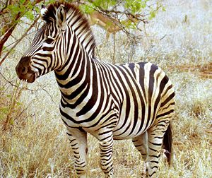 Beautiful Zebra in South Africa.JPG