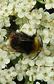 Bee (27989802305).jpg