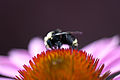 Bee on Echinacea (6126281542).jpg